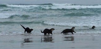 Otters Cape Town South Africa