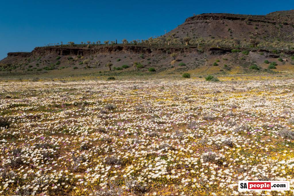 Namaqualand Flowers