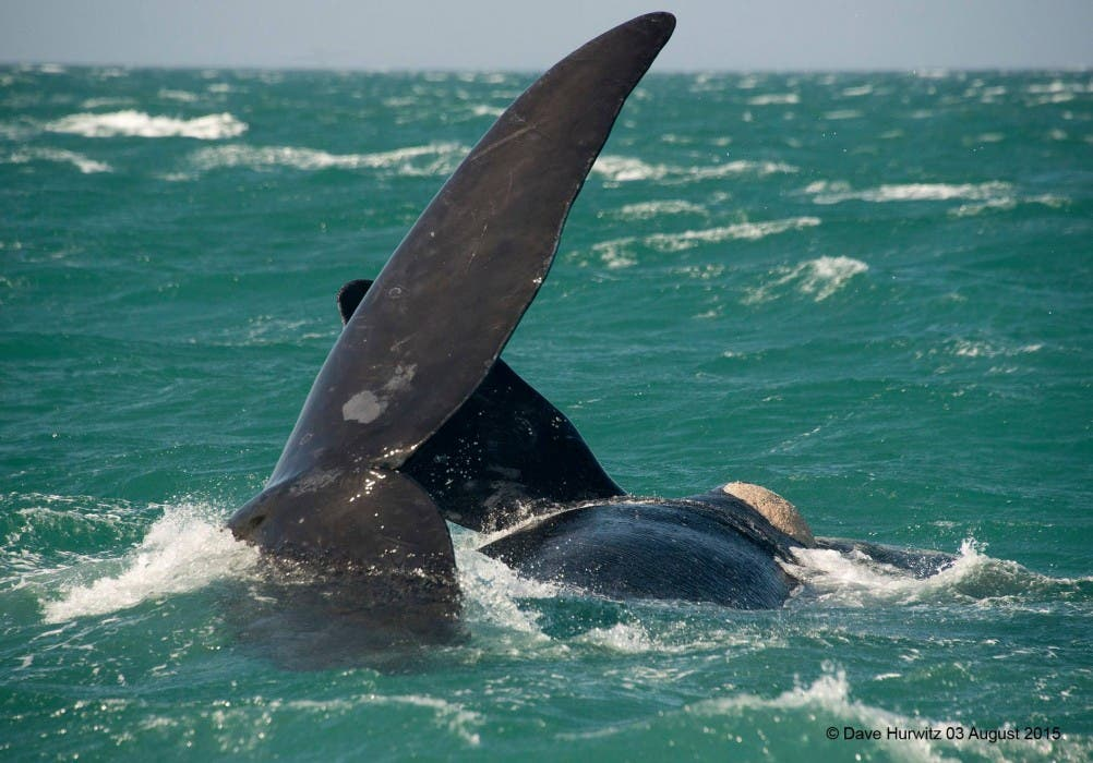 Whales Simonstown South Africa