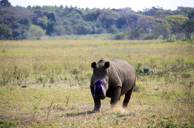 iSimangaliso Rhino De-Horning South Africa