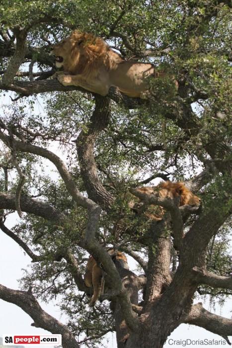 Lions in tree, Tanzania
