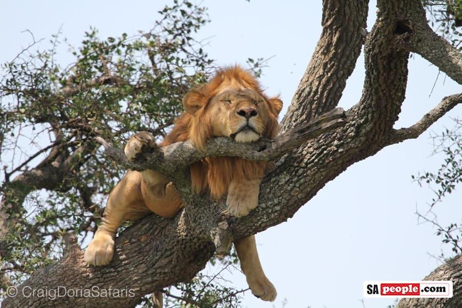 Male lion in tree, Tanzania