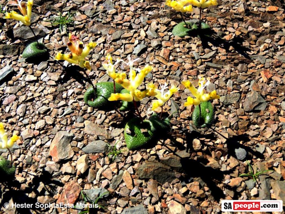 Namaqualand Spring Flowers
