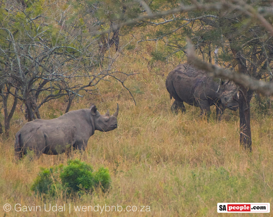 Black Rhino mating in South Africa