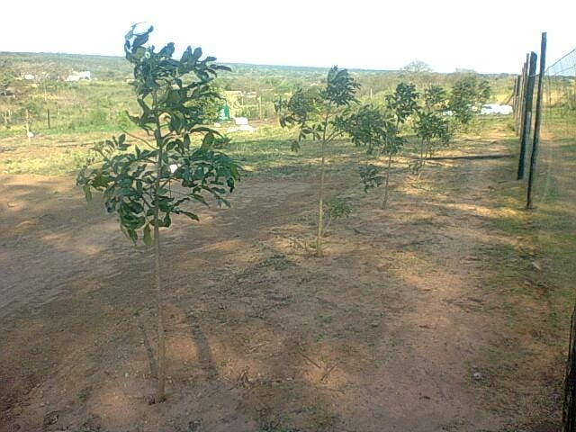 Nkosinathi's trees