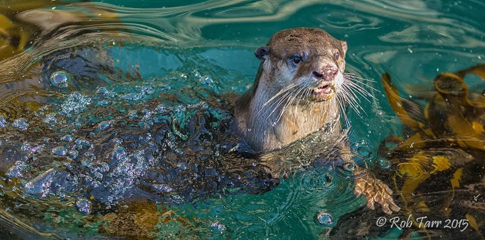 Otters South Africa