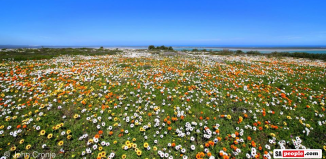 Langebaan Flowers