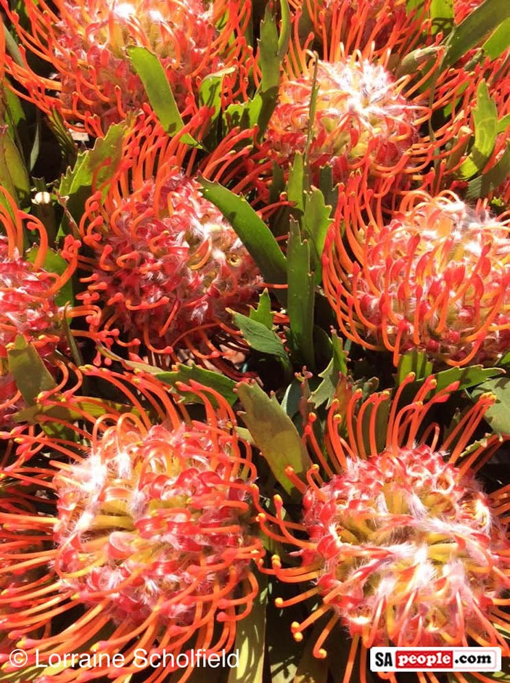 Celebrating South Africa S Indigenous Flowers On