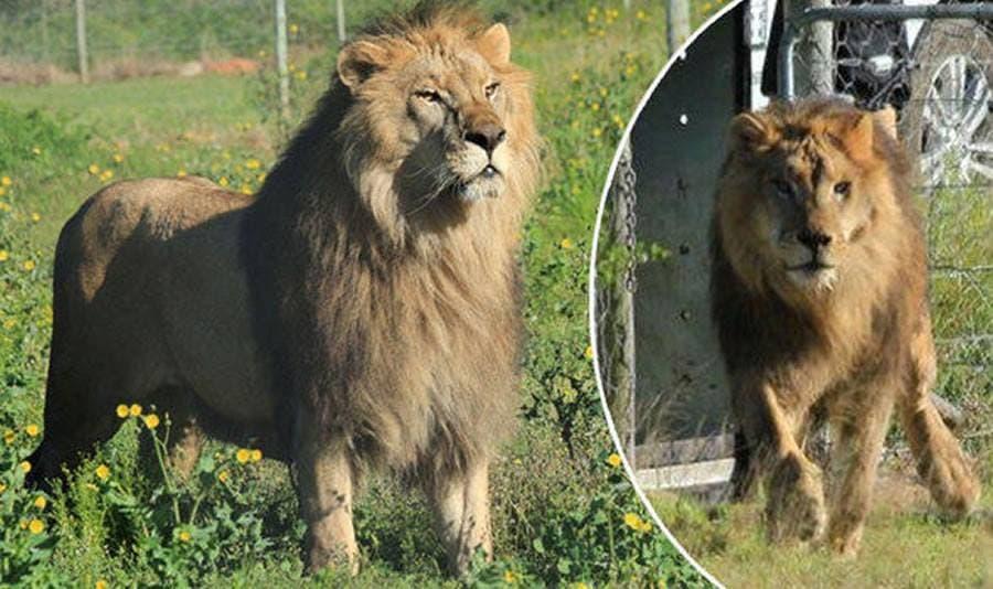 lions-shamwari