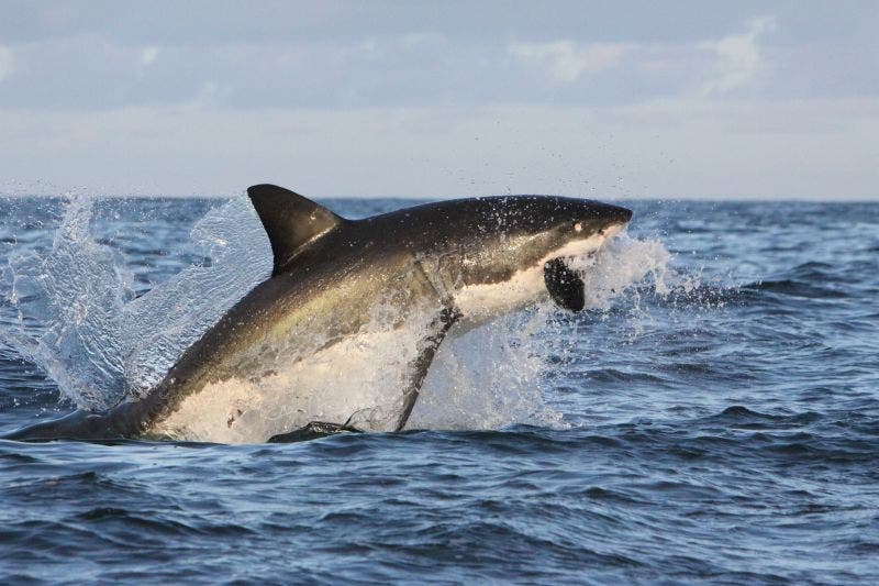 Flying Great White Shark of False Bay. Photo_ Rob Lawrence. Source: FB/Shark Spotters