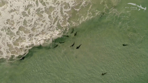 Aerial view of sharks, South Africa
