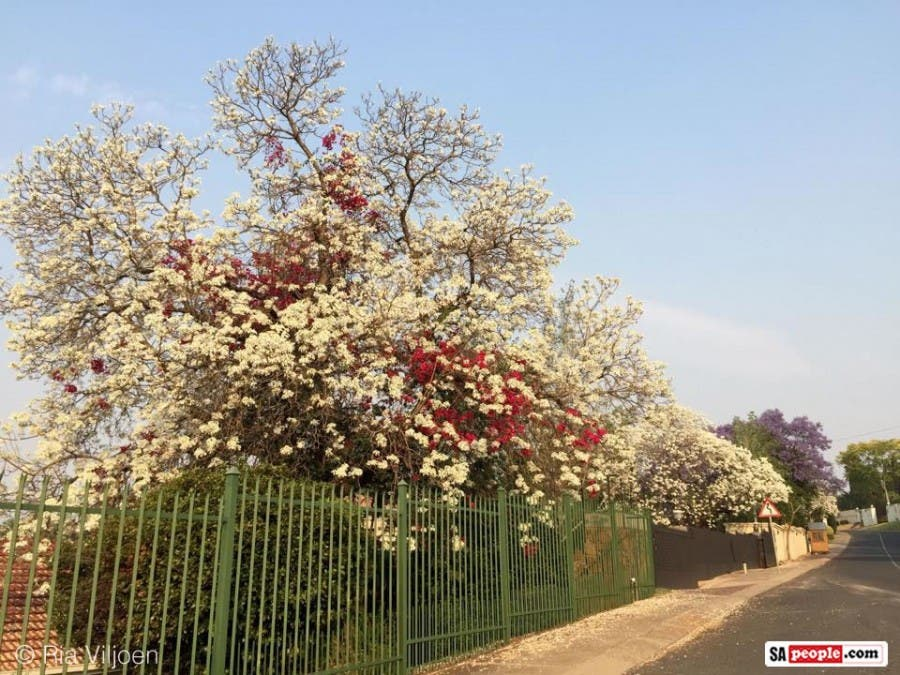 Photos Of Pretty Pretoria With A Wondrous Display Of White