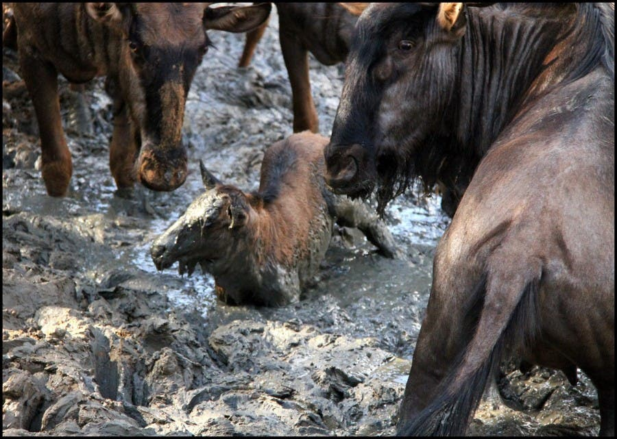 Wildebeest in Mud