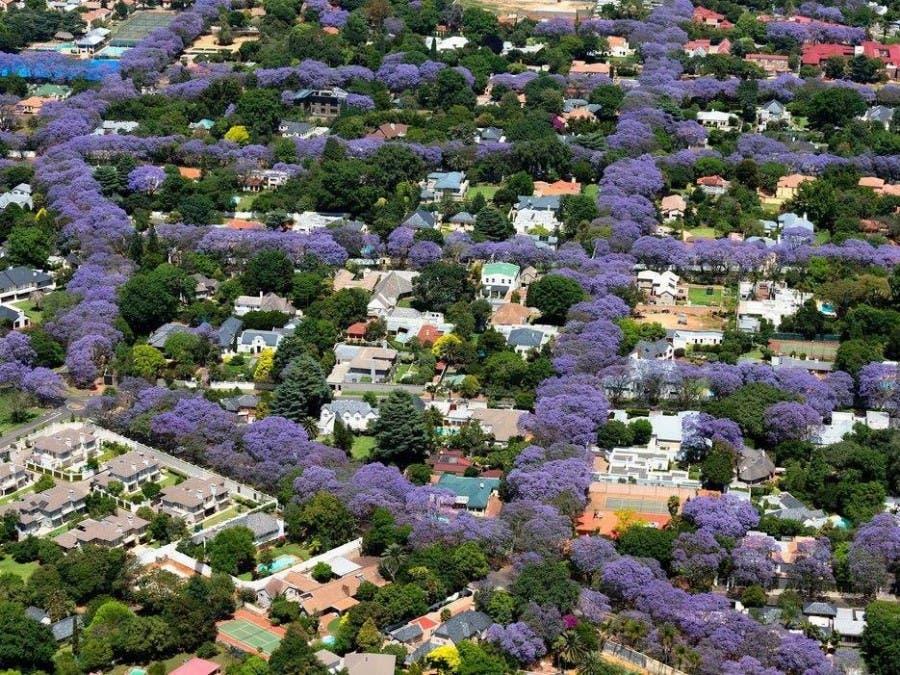 Subarban >> Pretoria Transformed into Purple Paradise. Yes, It's ...