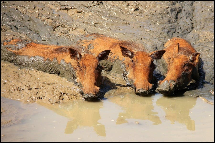 Happy as warthogs in mud...