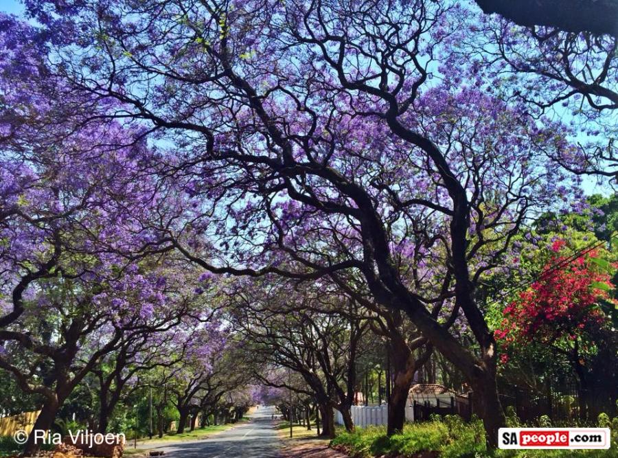 Pretoria Transformed Into Purple Paradise Yes Its Jacaranda Time