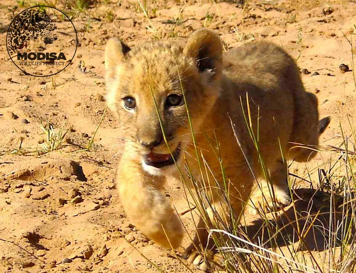 Sirga as a cub