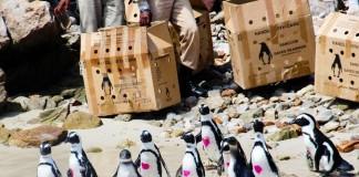 penguin-sanccob