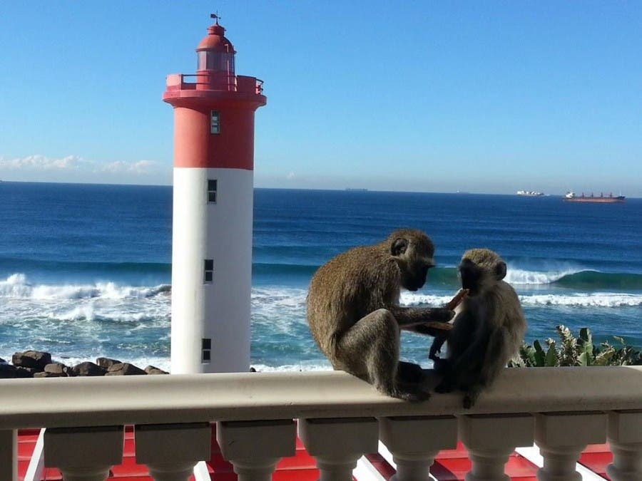Monkey business in Umhlanga Rocks