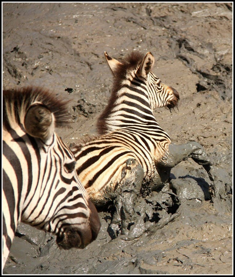Zebras in mud