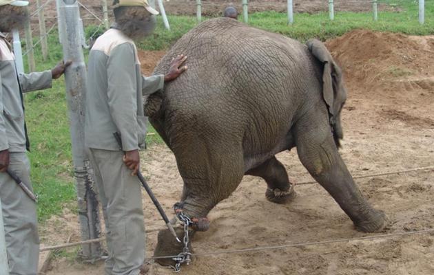 elephant-knysna