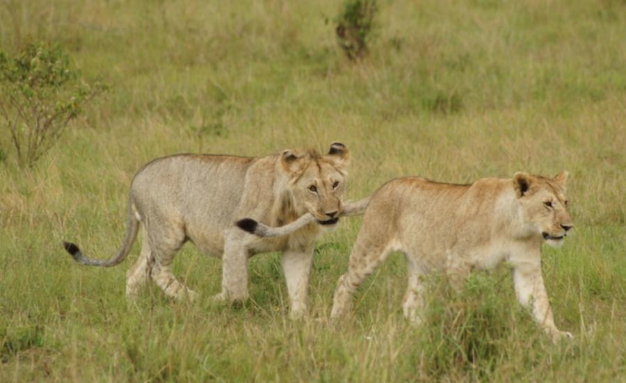 Lions in the Kruger National park