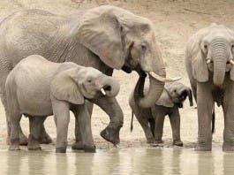 ivory elephants