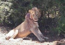 lion snare