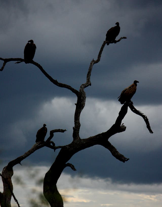 Vultures waiting for a meal, Madikwe Game Reserve, South Africa