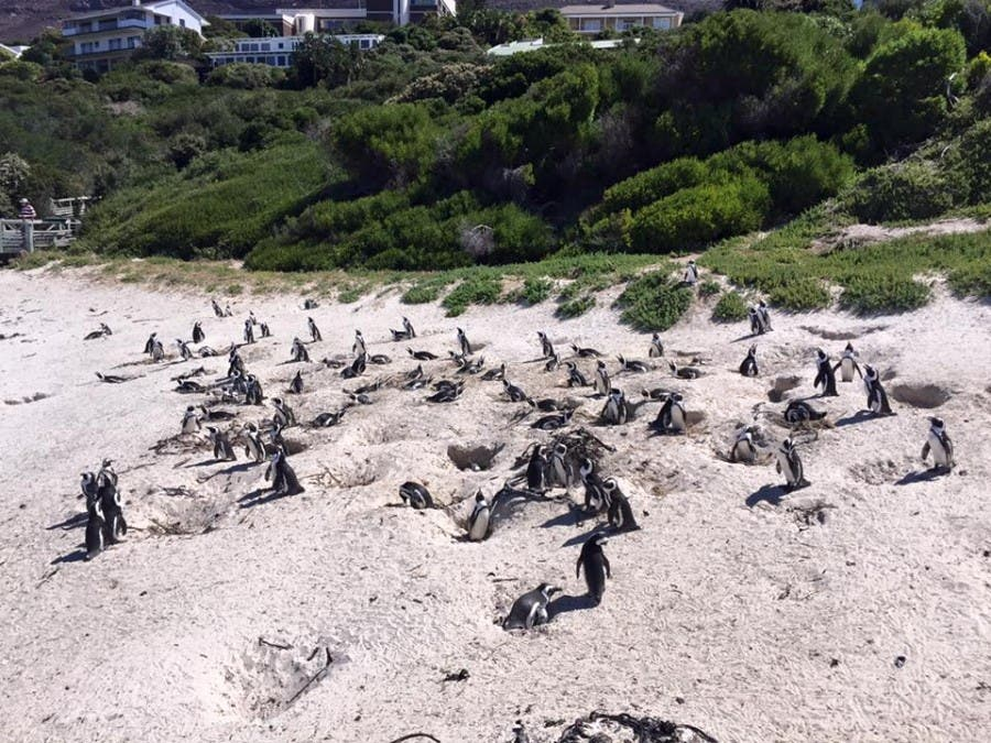 Penguins in sand