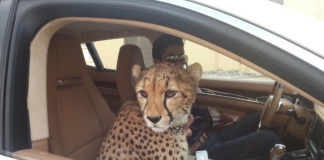 cheetah uae