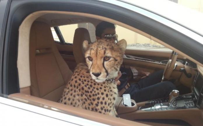 cheetah uae