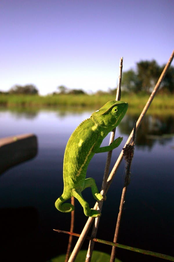 Chameleon crossing the Okavango, Botswana