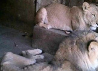 lion yemen