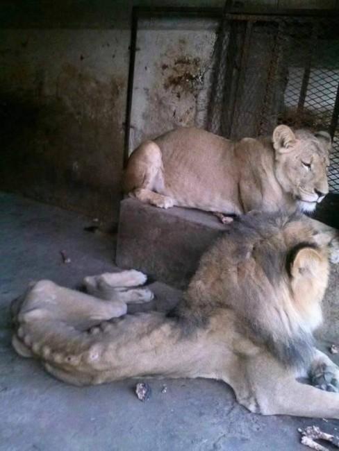 yemen lion