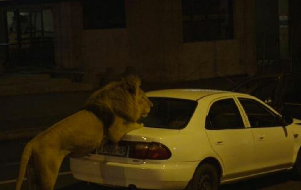lion braam