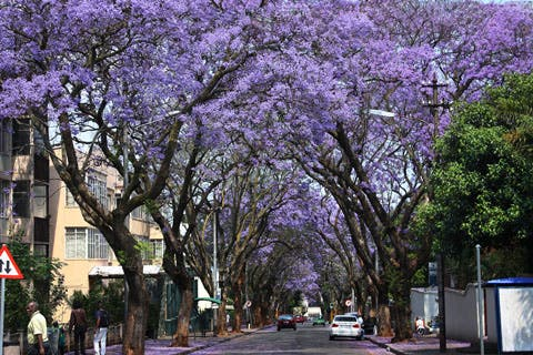 Jacarandas in Johannesburg