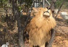 Lion released in South Africa