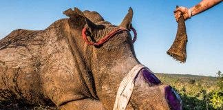 Rhino Dehorning South Africa