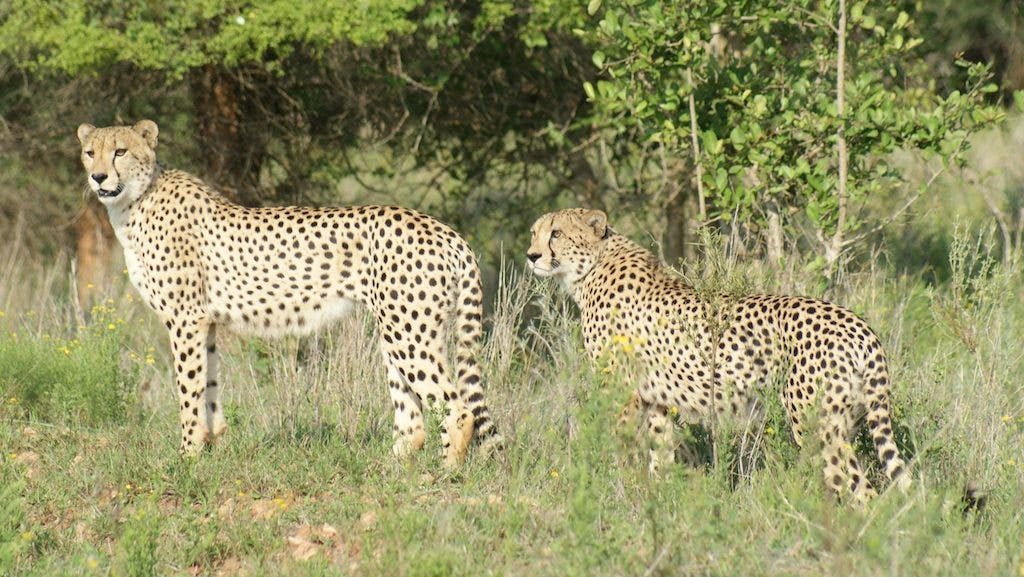 Baby Cheetahs Born In The Wild Of Rescued Parents Sapeople Your