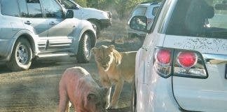 Lions Porcupine