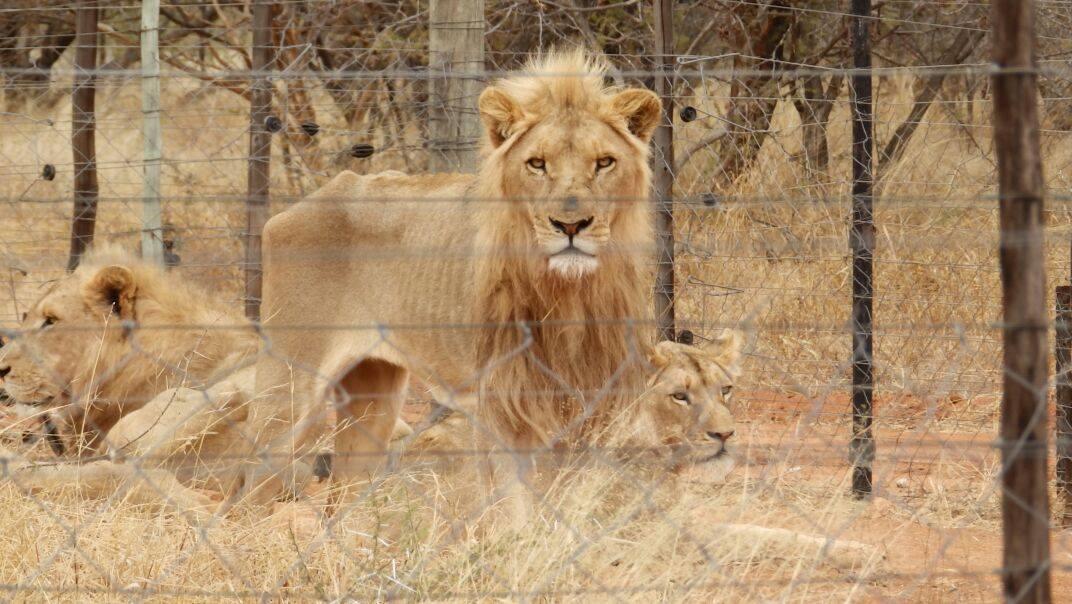 lionmain