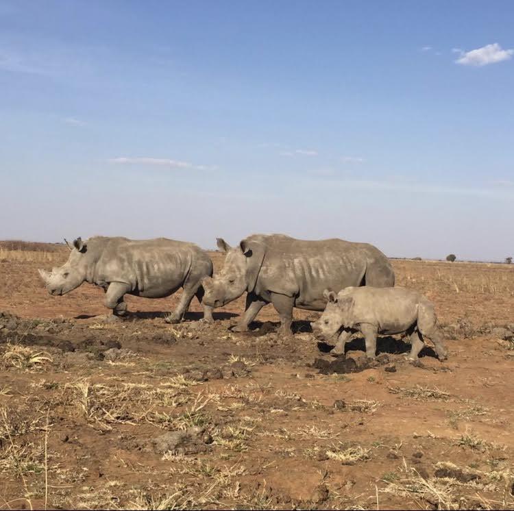Rhinos released2