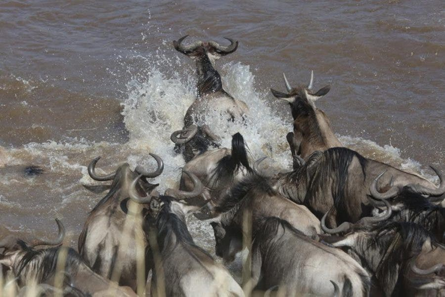 a-phalynx-of-wildebeest-leaping-into-the-mara-river