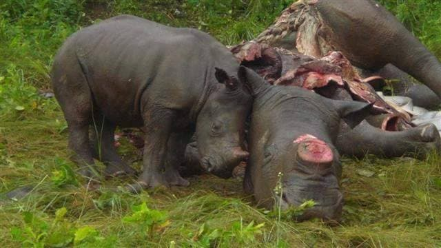 Baby rhino with poached mother in South Africa