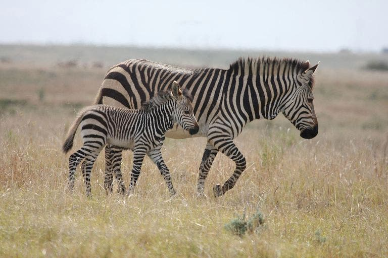 cape_mountain_zebra_and_young