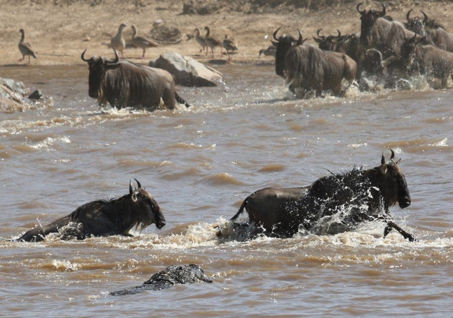 crocodile-and-wildebeest