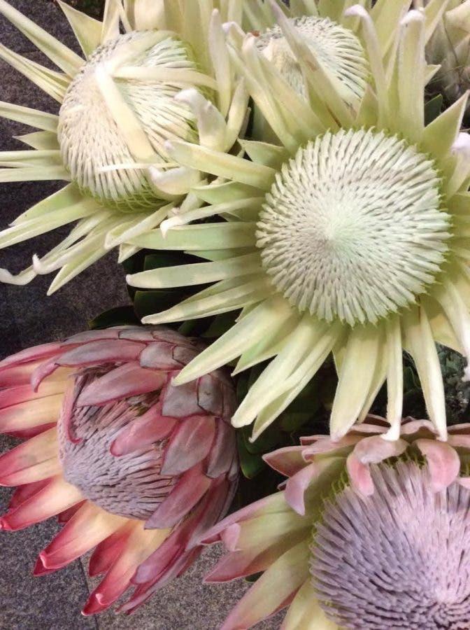 white-proteas