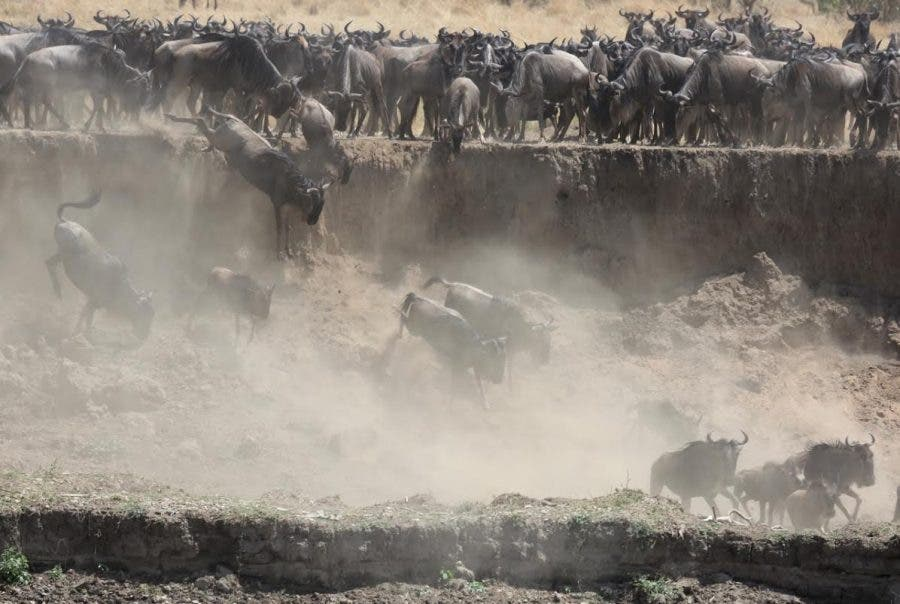 wildebeest-getting-airtime-on-the-mara-river-in-tanzania