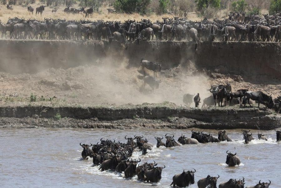 wildebeest-crossing2